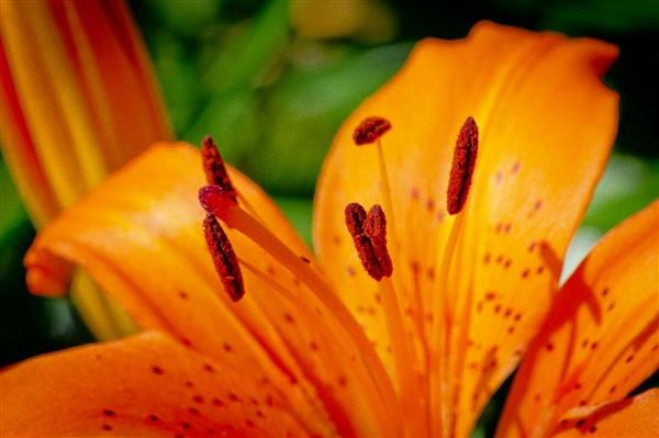 Queen Esther's Color Guard - Copyright © 2012 Steve Lautenschlager.  An orange lilly on my front porch.